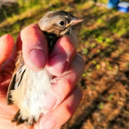 One of the birds Chris got to observe at the banding stations: a juvenile song sparrow growing its first flight feathers.