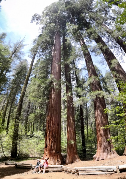 On her days off from banding, Chris has been taking in Yosemite's sights beyond the meadows, including Merced Grove's massive sequoias.