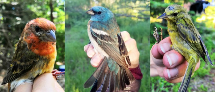 A few of the bird's Chris got to help band during the mid-June period: a not-so-purple purple finch, a lazuli bunting, and a young orange-crowned warbler.
