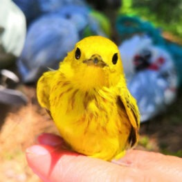 Bright hues were on display at the banding stations in June! Pictured: a yellow warbler.