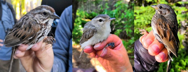 Left to right: song sparrow, warbling vireo, Lincoln's sparrow.
