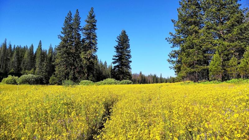 Summer wildflowers in Ackerson Meadow.