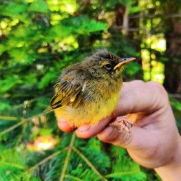 "A baby MacGillivray's warbler (aka ""Grumpybird"") at Ackerson Meadow."