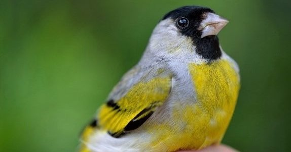 Male Lawrence's goldfinch at Big Meadow.