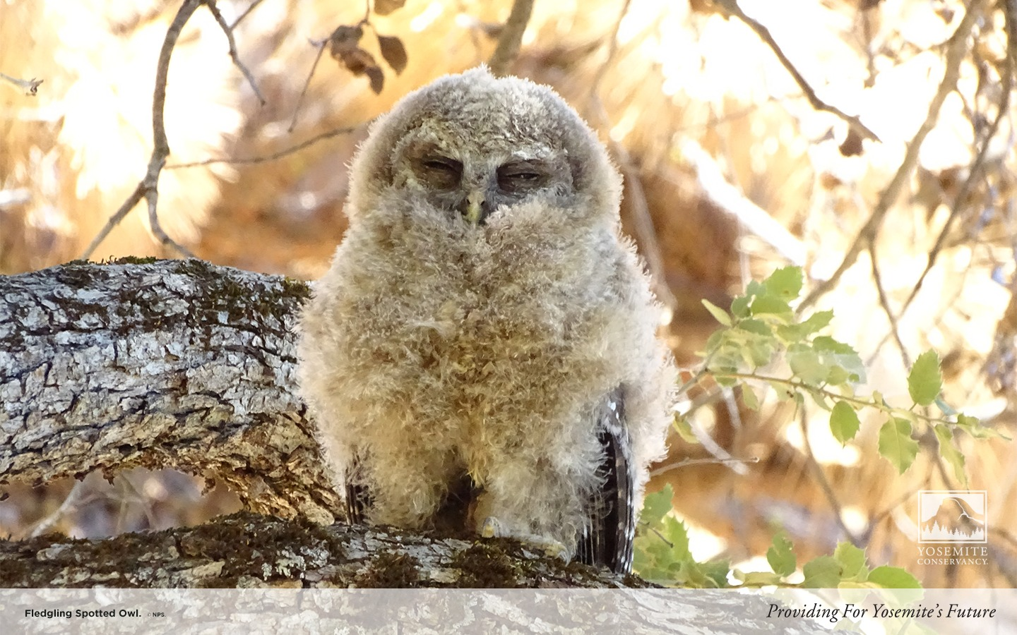 Fledgling Spotted Owl Yosemite Conservancy