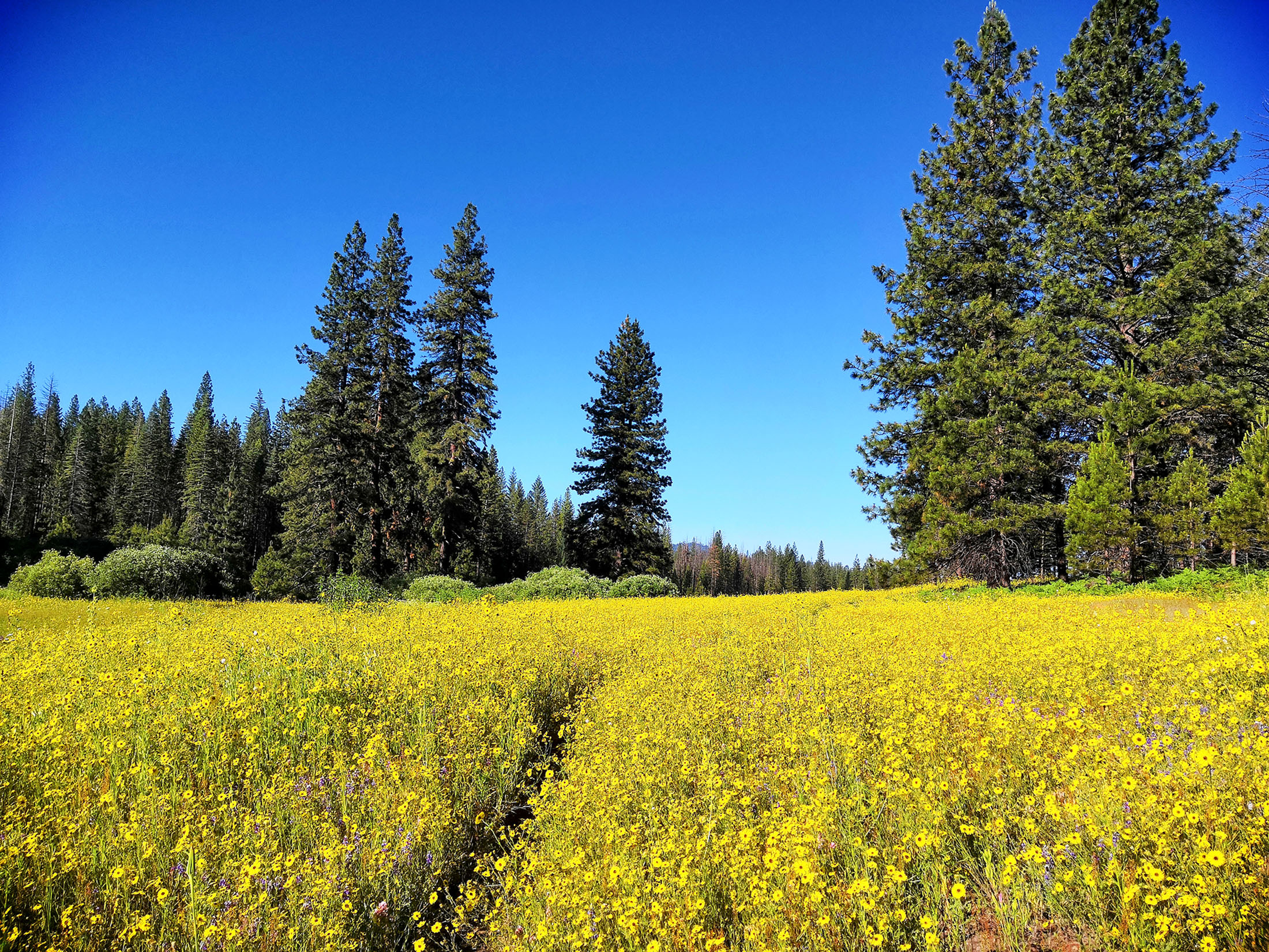 Summer wildflowers at Ackerson Meadow.