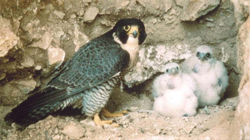 An adult peregrine and two fluffy chicks peer out from a rocky nest site. Photo: Julie Miller.