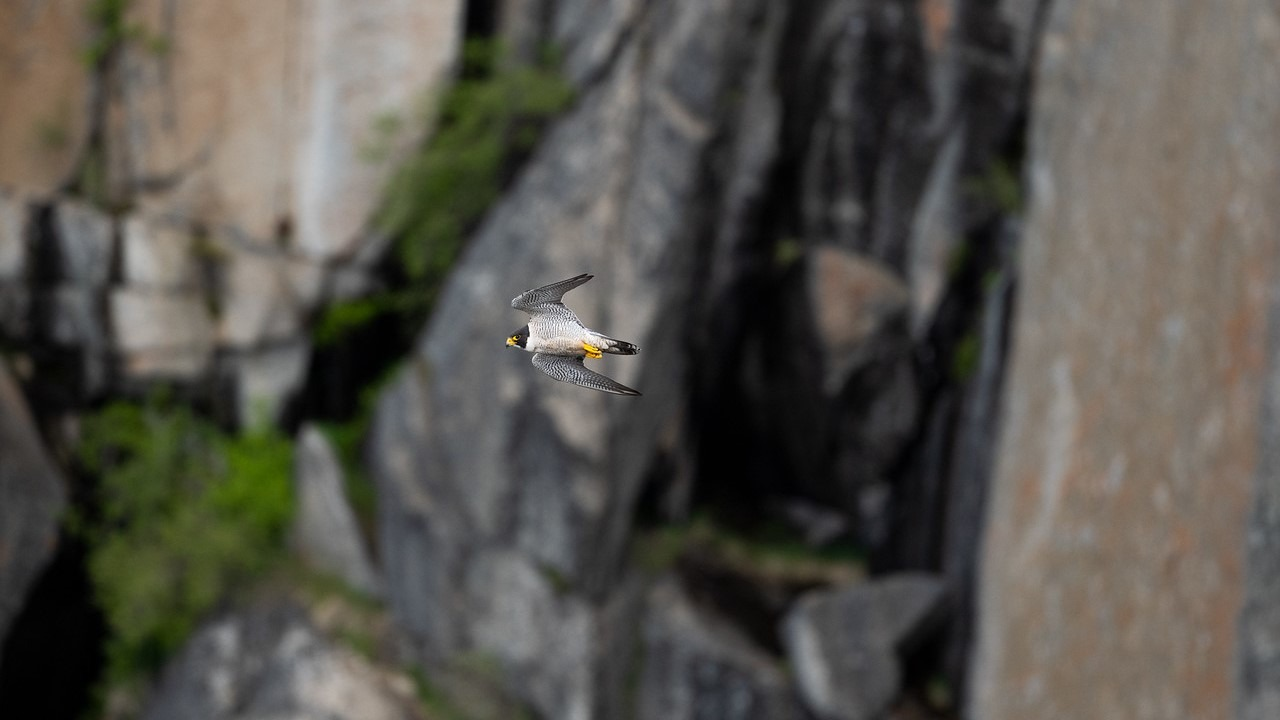 An adult peregrine falcon glides through the air while hunting in Yosemite Valley. Photo: James McGrew.