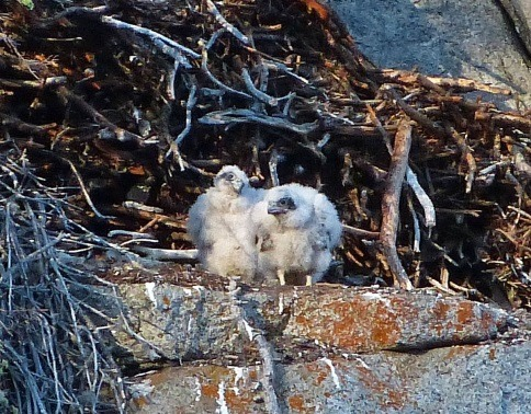 A pair of young peregrine falcons peer out from a rocky nest site in Yosemite Valley. Photo: Eric Schaal, 2012.