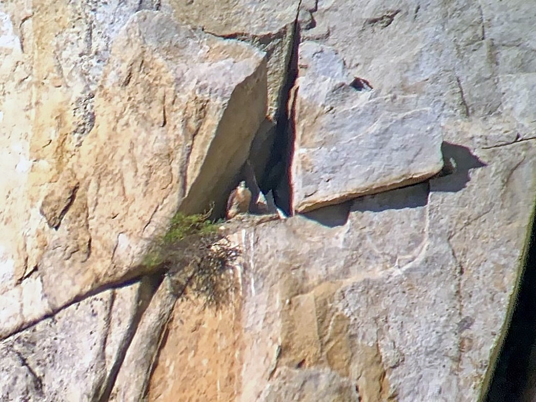 A peregrine falcon peers out from a rocky nook high above Yosemite Valley in spring 2020. Photo: NPS/Sean Smith.