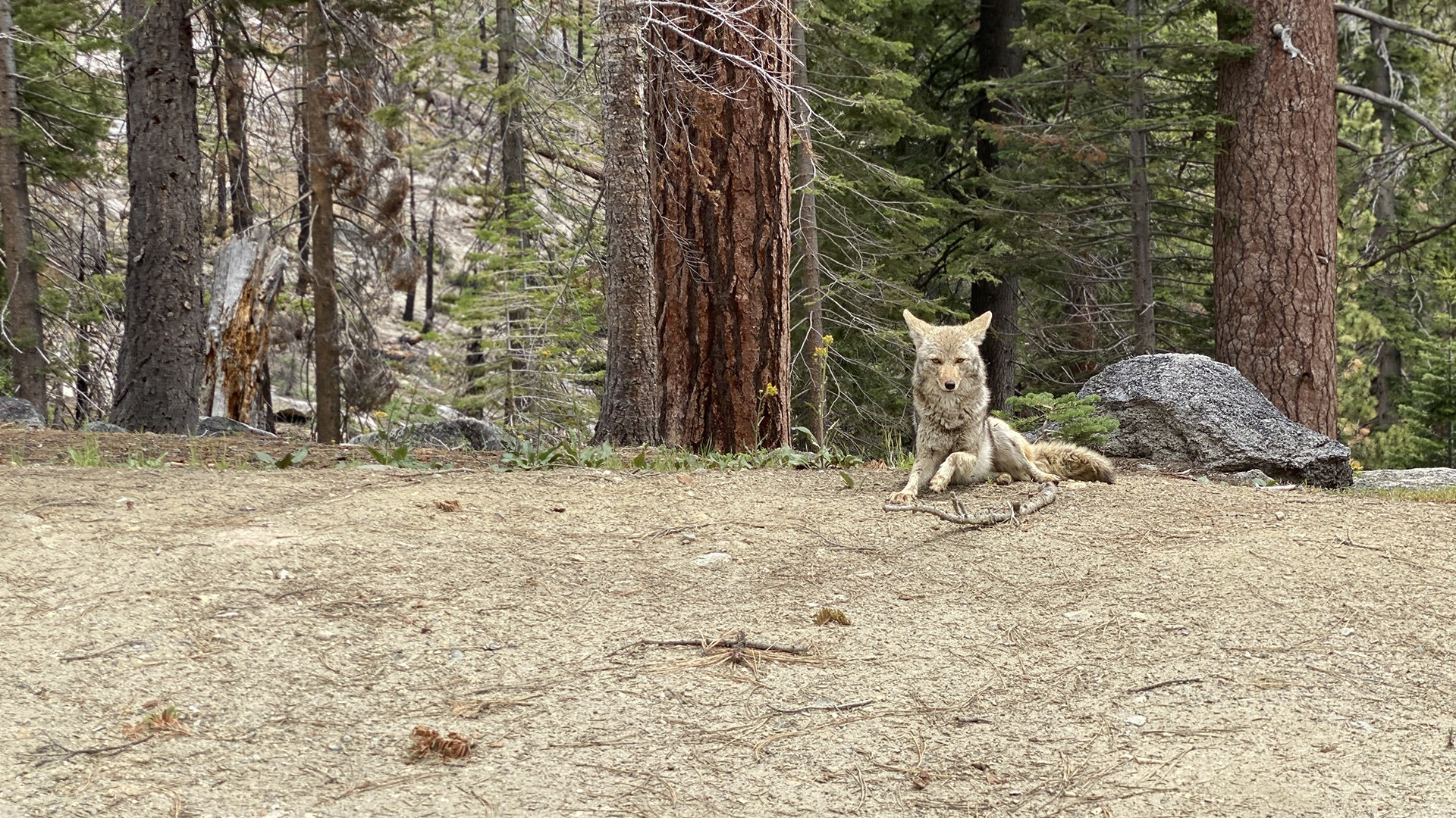 A coyote lying down and looking toward the camera near a road in Yosemite.