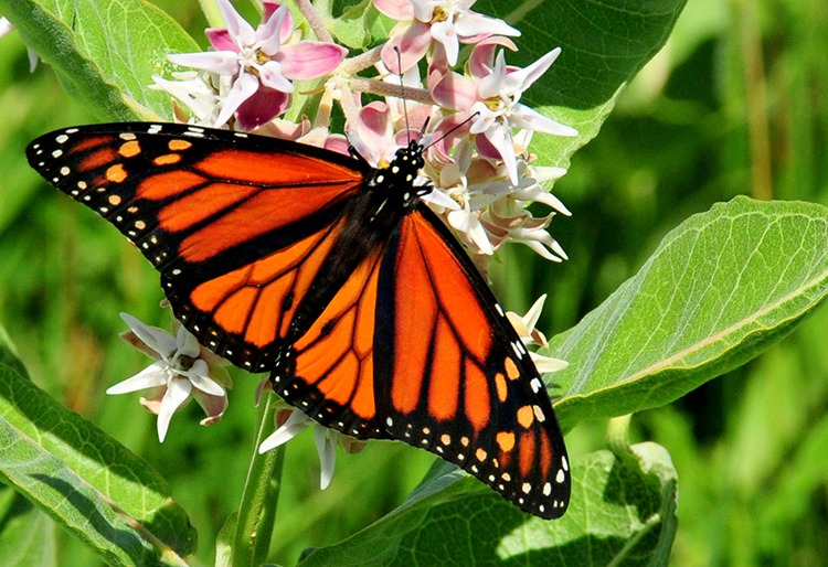 Close-up photo of a black and orange monarch butterfly on pink milkweed.