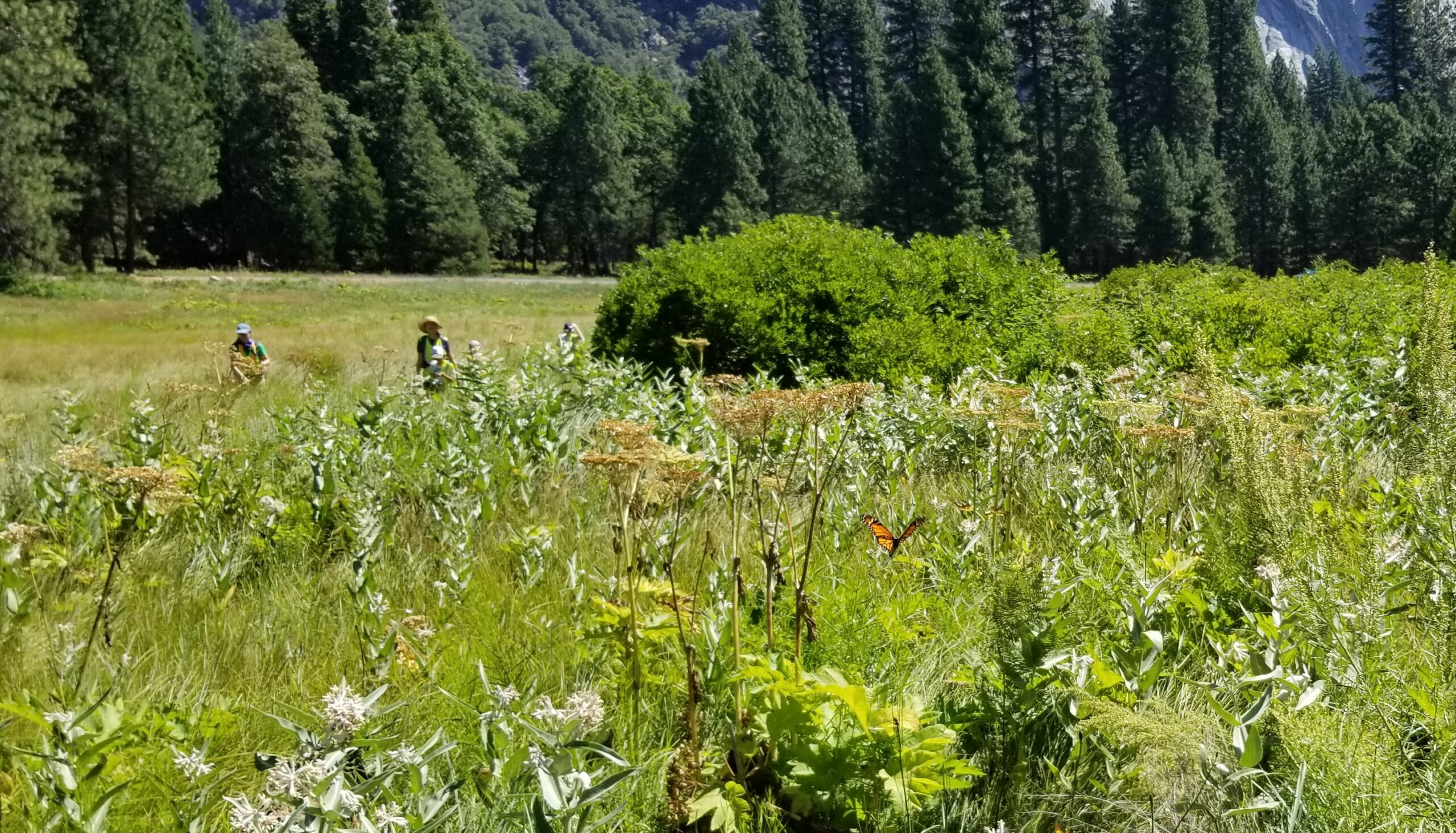 A landscape photo taking in Yosemite Valley showing a monarch butterfly among meadow plants in the foreground, with two volunteers from a school group in the background. Photo: NPS, August 2019.