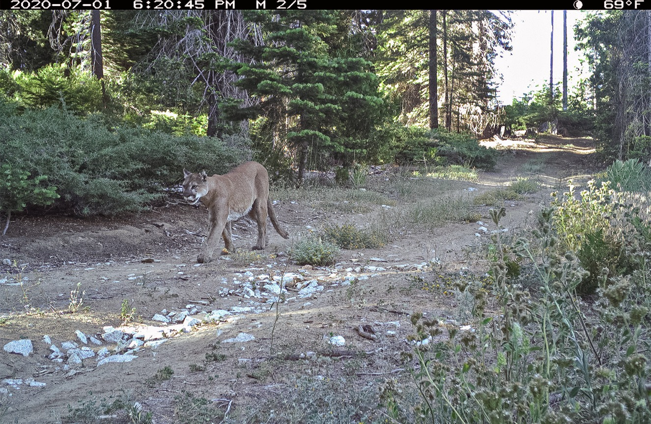 A remote camera image of a mountain lion walking on a Yosemite trail on July 1, 2020. Photo: Courtesy of NPS.