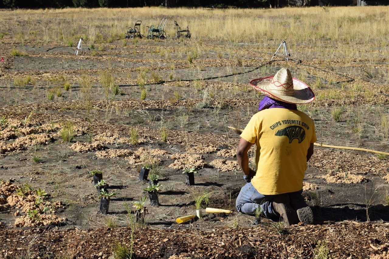 A CHIPS (Calaveras Healthy Impact Product Solutions) crew member planting native flowers in Ahwahnee Meadow, in Yosemite Valley, in October 2020, as part of a Conservancy-supported project to improve habitat for monarch butterflies and other pollinators. Photo: Yosemite Conservancy/Ryan Kelly