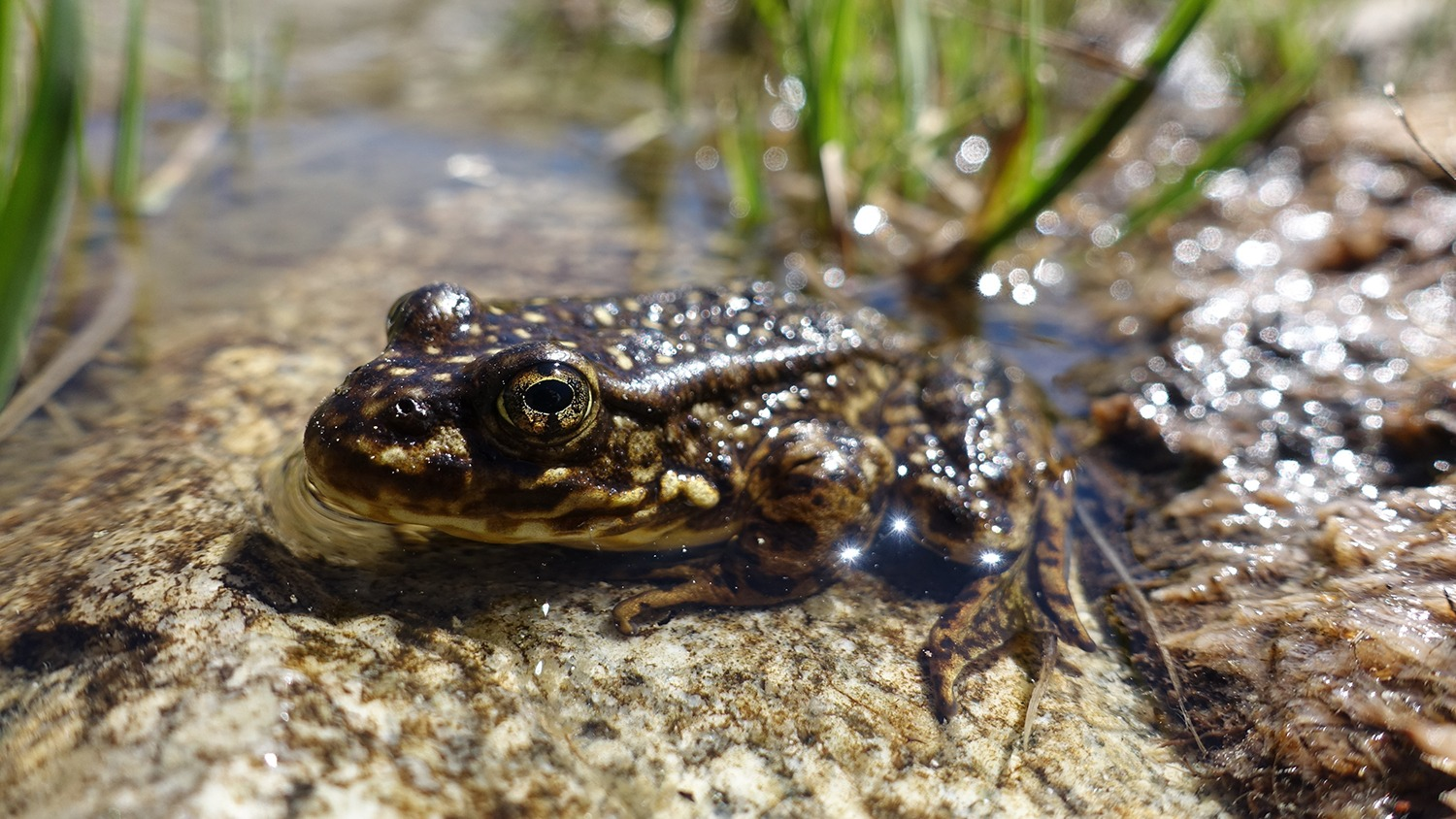 Close-up photo of a Sierra Nevada yellow-legged frog on a rock at the edge of a high country lake in Yosemite. Photo courtesy of NPS.