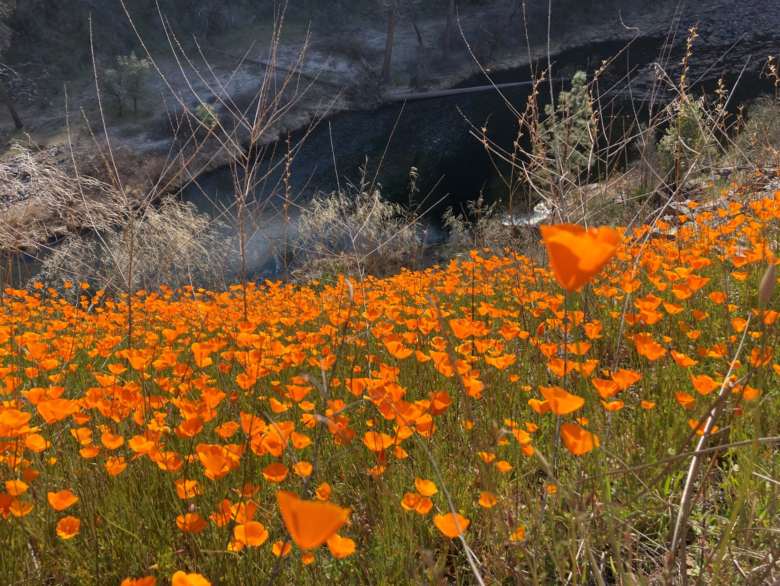 A grassy slope above the Merced River covered in orange poppies.