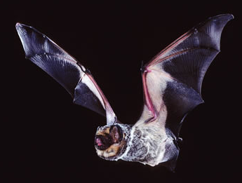 Check out those wings! The hoary bat—so-called because of the white-tipped hair that gives it a frosted, or