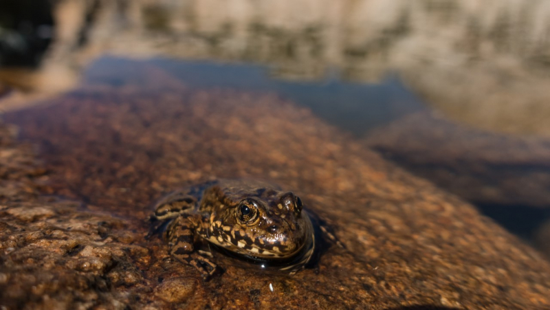 As part of a 2019 project focused on Yosemite's native amphibian species, scientists will continue working to study and restore the park's population of Sierra Nevada yellow-legged frogs. Photo: Kris Bason