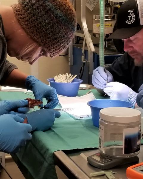 Yosemite biologists Colleen Kamoroff (left) and Rob Grasso (right) tag California red-legged frogs with PIT (passive integrated transponder) devices at a special San Francisco Zoo facility. Photo: Yosemite Conservancy (March 2018)