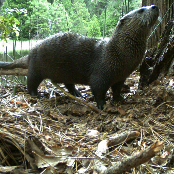 Sonia's animal pick: a river otter. (This one wandered in front of a remote camera that was deployed in Yosemite for a wildlife research project.) Photo: Courtesy of NPS