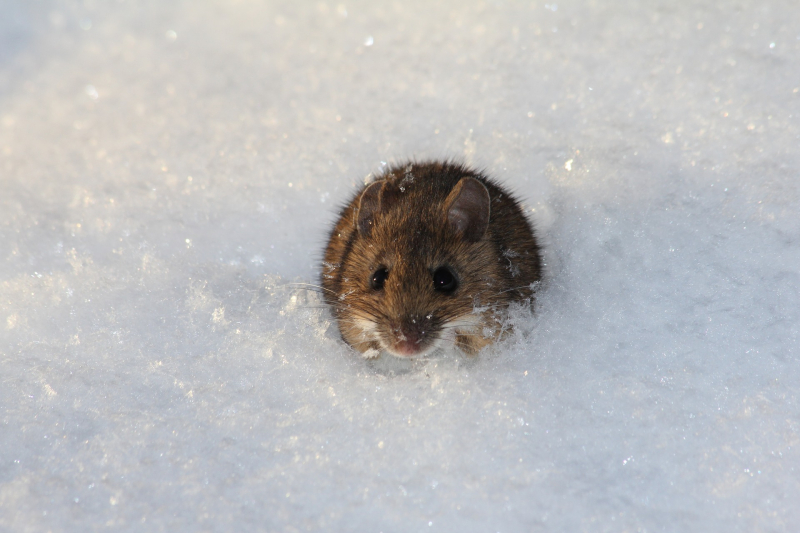Many small mammals seek shelter under the snow, but sometimes pop out to the surface. Look for their tracks leading to and from subnivean-zone entrance holes. Photo: Pixabay