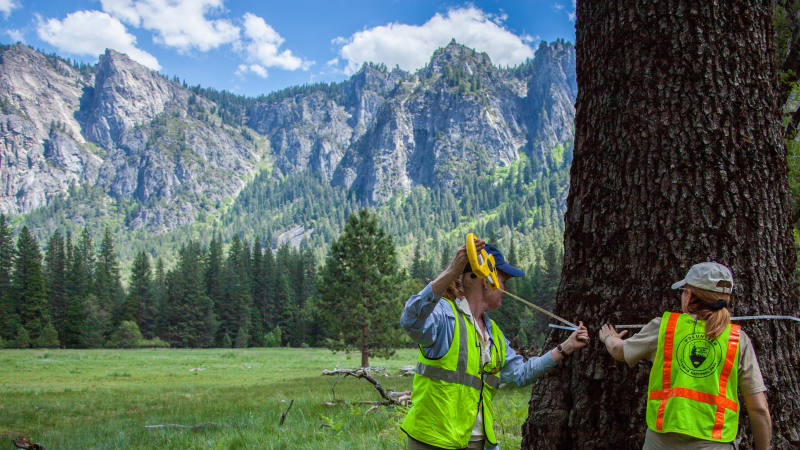Volunteers measure trees in Yosemite Valley during a Conservancy work week project. Photo: Tony DeMaio