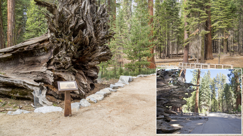 At the base of the Fallen Monarch, sustainable trail surface, educational signs, and a wooden bridge have replaced a paved road. Photos: Yosemite Conservancy/Josh Helling