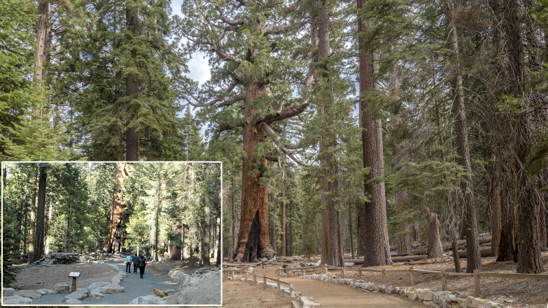 A new accessible trail leads to the Grizzly Giant, one of Mariposa Grove's most famous trees. Photos: Yosemite Conservancy/Schuyler Greenleaf (before), Yosemite Conservancy/Keith Walklet (after)