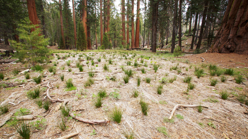 Native vegetation is regenerating in Yosemite's Mariposa Grove, where paved roads and parking spaces once abutted sequoia trunks. Photo: Yosemite Conservancy/Josh Helling