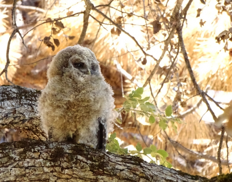 Fledgling spotted owl. Credit: NPS