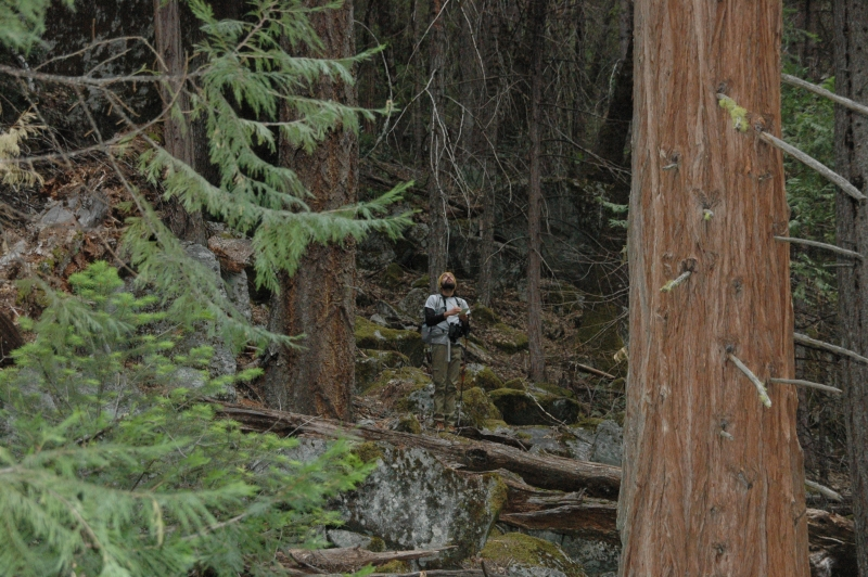 A member of Yosemite's owl crew peers up into the forest canopy, searching for signs of an elusive bird.