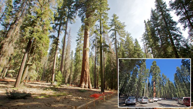 As part of the restoration project, pavement was removed from the grove's original parking area and roads, allowing sequoia habitat to rebound. Photos: Yosemite Conservancy/Josh Helling