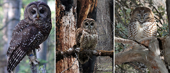 Left to right: Northern spotted owl (credit USFWS); California spotted owl (credit Kurt Ongman); Mexican spotted owl (credit Gary L. Clark)
