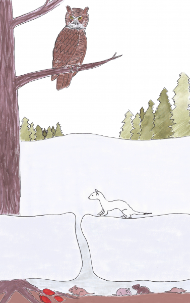 Small animals find winter food and shelter in the subnivean zone. Some predators listen for subtle movements under the snow; others, such as short-tailed weasels, slip into the tunnels to hunt.